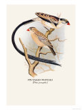 Pin-Tailed Whydah Prints by Arthur G. Butler