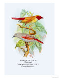 Red-Faced Finch, Crimson-Winged Finch Poster by Arthur G. Butler