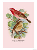 Scarlet Rose-Finch Prints by Arthur G. Butler