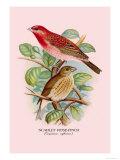 Scarlet Rose-Finch Prints by Arthur G. Butler