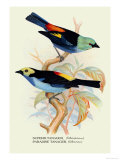 Superb Tanager, Paradise Tanager Prints by Arthur G. Butler