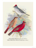 Pileated Finch, Red-Crested Finch Prints by Arthur G. Butler