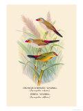 Orange-Cheeked Waxbill, Zebra Waxbill Posters by Arthur G. Butler