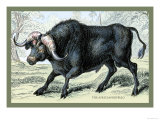 The African Buffalo Prints by John Stewart