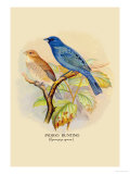 Indigo Bunting Posters by Arthur G. Butler