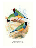 Gouldian Finch Art by Arthur G. Butler