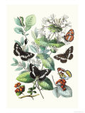 Butterflies: N. Lucilla, L. Sibylla Poster by William Forsell Kirby
