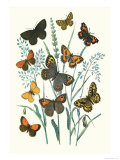 Butterflies: E. Hyperanthus, N. Lucina Prints by William Forsell Kirby