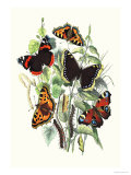 Butterflies: V. Atalanta, V. Antiopa Posters by William Forsell Kirby