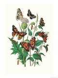 Butterflies: V. Xanthomelas, V. Prorsa Print by William Forsell Kirby