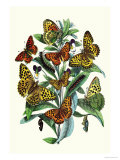 Butterflies: A. Dia, A. Lathonia Poster by William Forsell Kirby