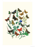 Butterflies: P. Sylvanus, Z. Quercus Print by William Forsell Kirby