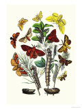 Moths: G. Quercifolia, L. Potatoria Prints by William Forsell Kirby