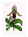 Orchid: Cypripedium Lucie Poster by William Forsell Kirby