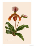 Orchid: Cypripedium Lathianum Print by William Forsell Kirby