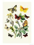 Butterflies: E. Belemia, E. Tagis Poster by William Forsell Kirby