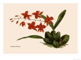 Orchid: Cochlioda Notzliana Print by William Forsell Kirby