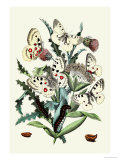 Butterflies: P. Apollo, P. Phoebus Prints by William Forsell Kirby