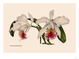 Orchid: Cattleya Mossia Vestalis Posters