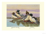 Red-Breasted Merganser and Goosander Prints by Allan Brooks