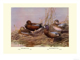 Cinnamon and Blue-Winged Teals Premium Giclee Print by Allan Brooks