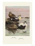 Eider and King Eider Ducks Prints by Allan Brooks