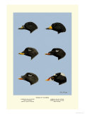 Heads of Scoters Premium Giclee Print by Allan Brooks
