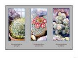 Neomammillaria Pringlei Prints