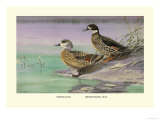 Crested and Bronze-Winged Ducks Posters by Allan Brooks