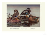 African and Meller's Ducks Prints by Allan Brooks