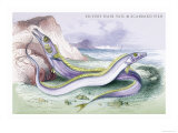 Silvery Hairtail and Scabbard Fish Print by Robert Hamilton