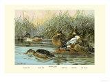 Shoveller Family of Ducks Poster by Allan Brooks
