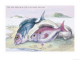 The Sea Bream and the Axillary Bream Poster by Robert Hamilton