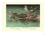 Four Duck Varieties Print by Allan Brooks