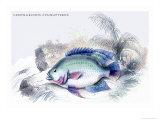 Centrarchus Cyanopterus Art by Robert Hermann Schomburgk