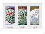 Neomammillaria Magnimamma Photo