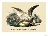 Gypaete, Ou Phene des Alpes Print by E.f. Noel