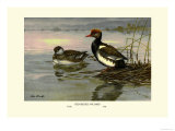 Red-Crested Pochard Prints by Allan Brooks