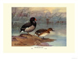 Rosy-Billed Duck Premium Giclee Print by Allan Brooks