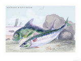 Mackarel and Ray's Bream Prints by Robert Hamilton