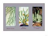 Rhipsalis Cassutha Posters