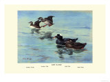 Surf Scoter Ducks Premium Giclee Print by Allan Brooks