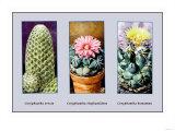 Coryphanta Erecta Posters