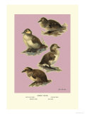 Four Downy Young Ducks Print by Allan Brooks
