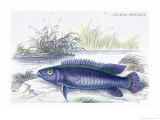 Cychla Fasciata Posters by Robert Hermann Schomburgk