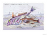 Red Surmullet and Lof Finned Captain Prints by Robert Hamilton