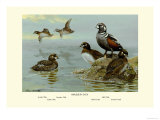Harlequin Duck Prints by Allan Brooks