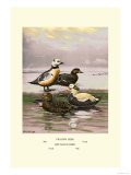 Stellars and Spectacled Eiders Print by Allan Brooks