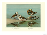 Ring-Necked and Brazilian Teals Art by Allan Brooks