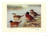 Maccoa and Blue-Billed Ducks Premium Giclee Print by Henrick Gronvold